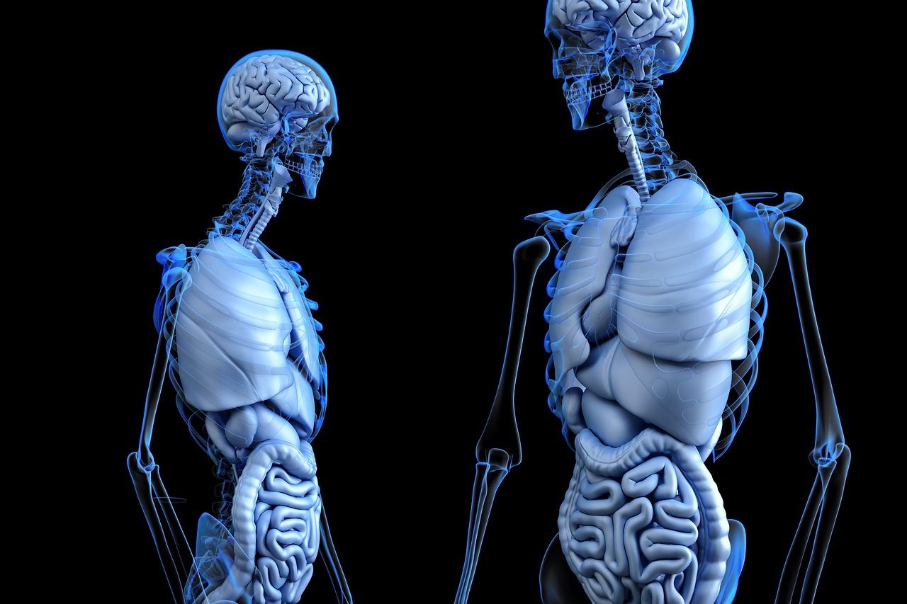 anatomical-2261006_1280.jpg (184.75 Kb)
