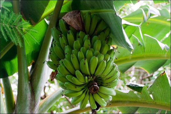 banany_koryst_i_shkoda_2.jpg (86.32 Kb)