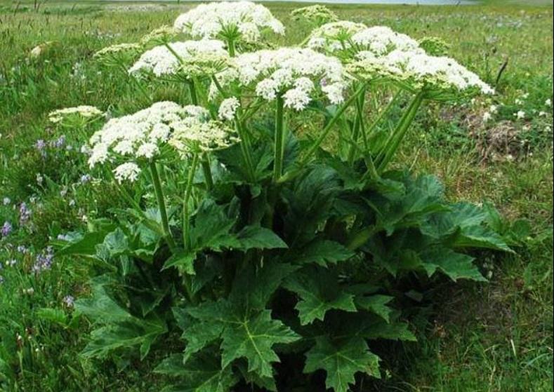Борщівник: отруйна рослина, яка може призвести до сліпоти