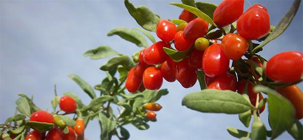 Чудодійні ягоди - ягоди годжі
