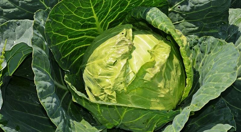 Білокачанна капуста: користь та шкода