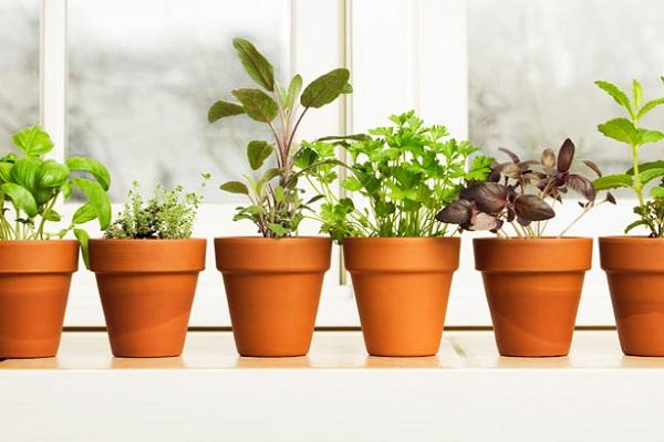 8 корисних трав, які можна виростити вдома
